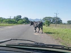 El ganado suelto y los accidentes del tránsito